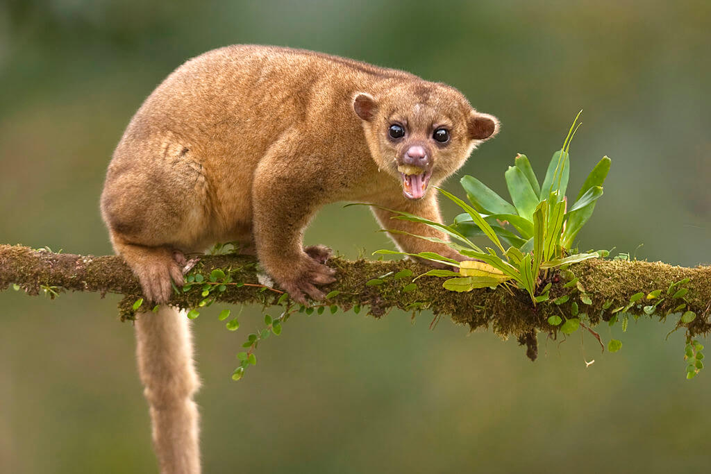 Animals You Should Not Have As Pets - Kinkajou