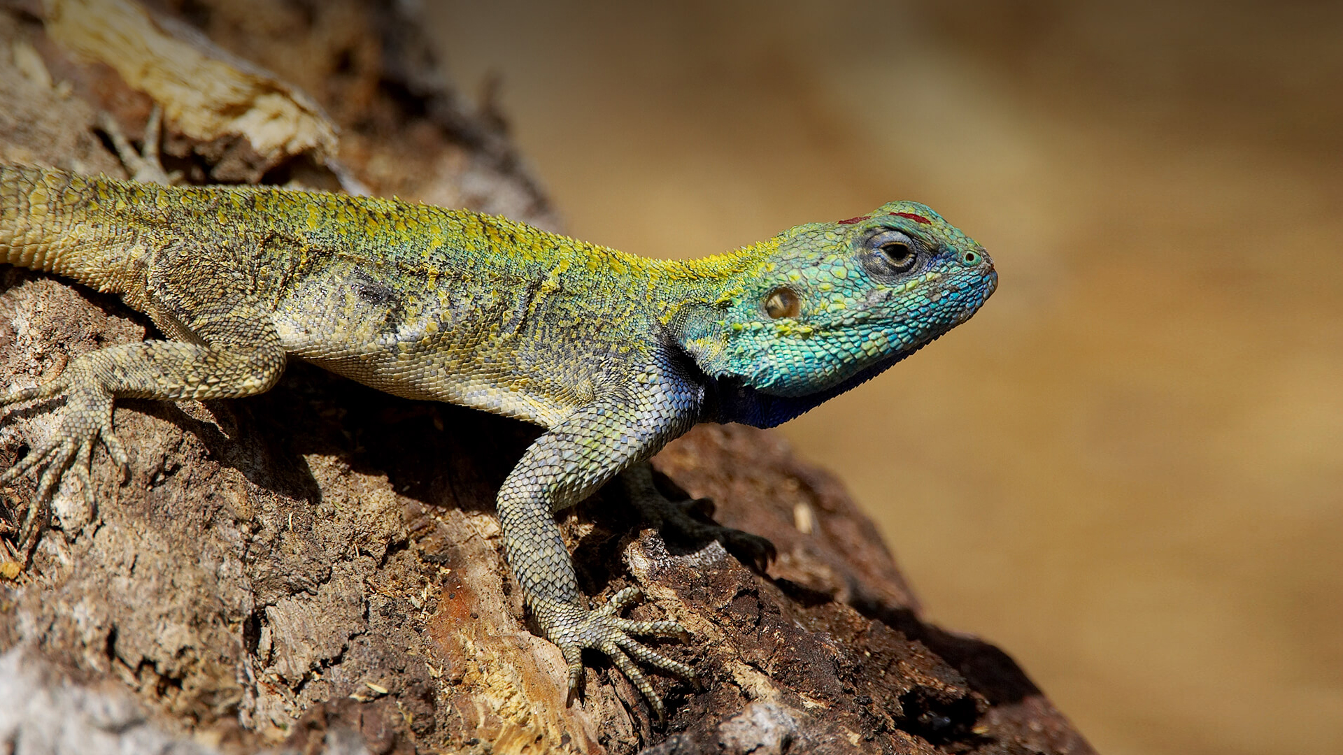 Lizard Pictures
