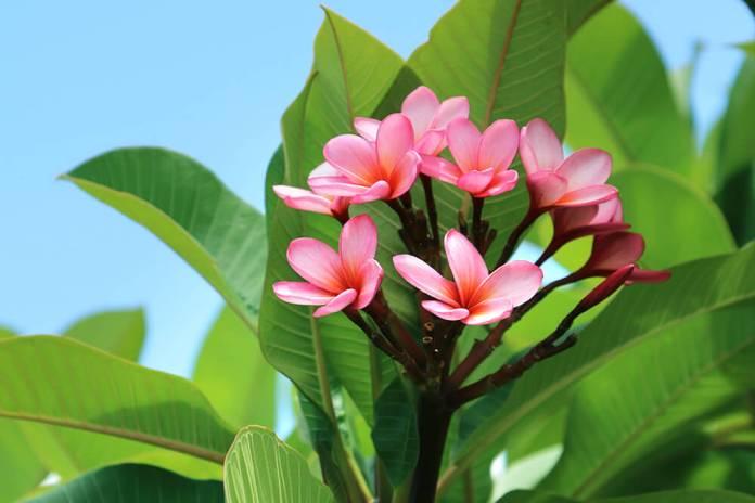 Image result for frangipani