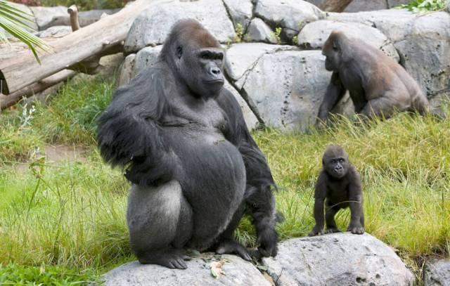 how long do gorillas live