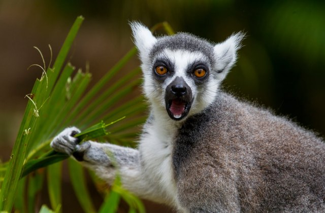 Lemur eating leaf