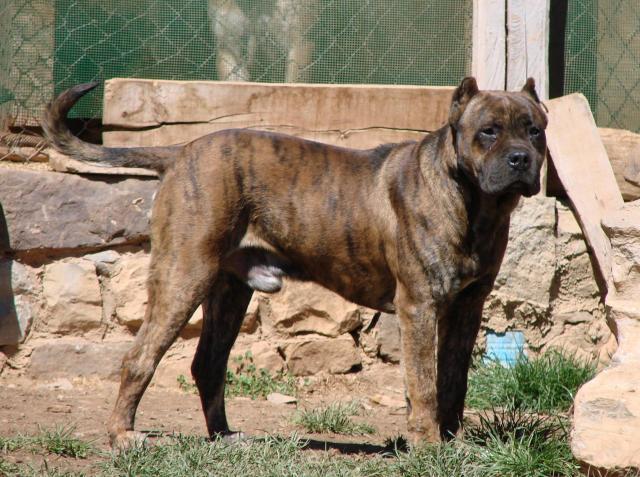 alano espanol (spanish bulldog) - facts, pictures, temperament