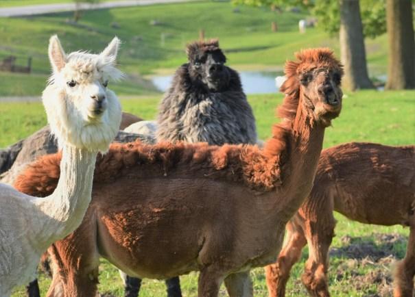 Group of Alpaca