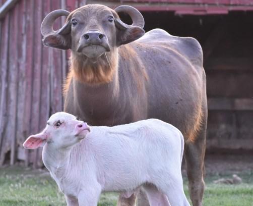 Protective Buffalo