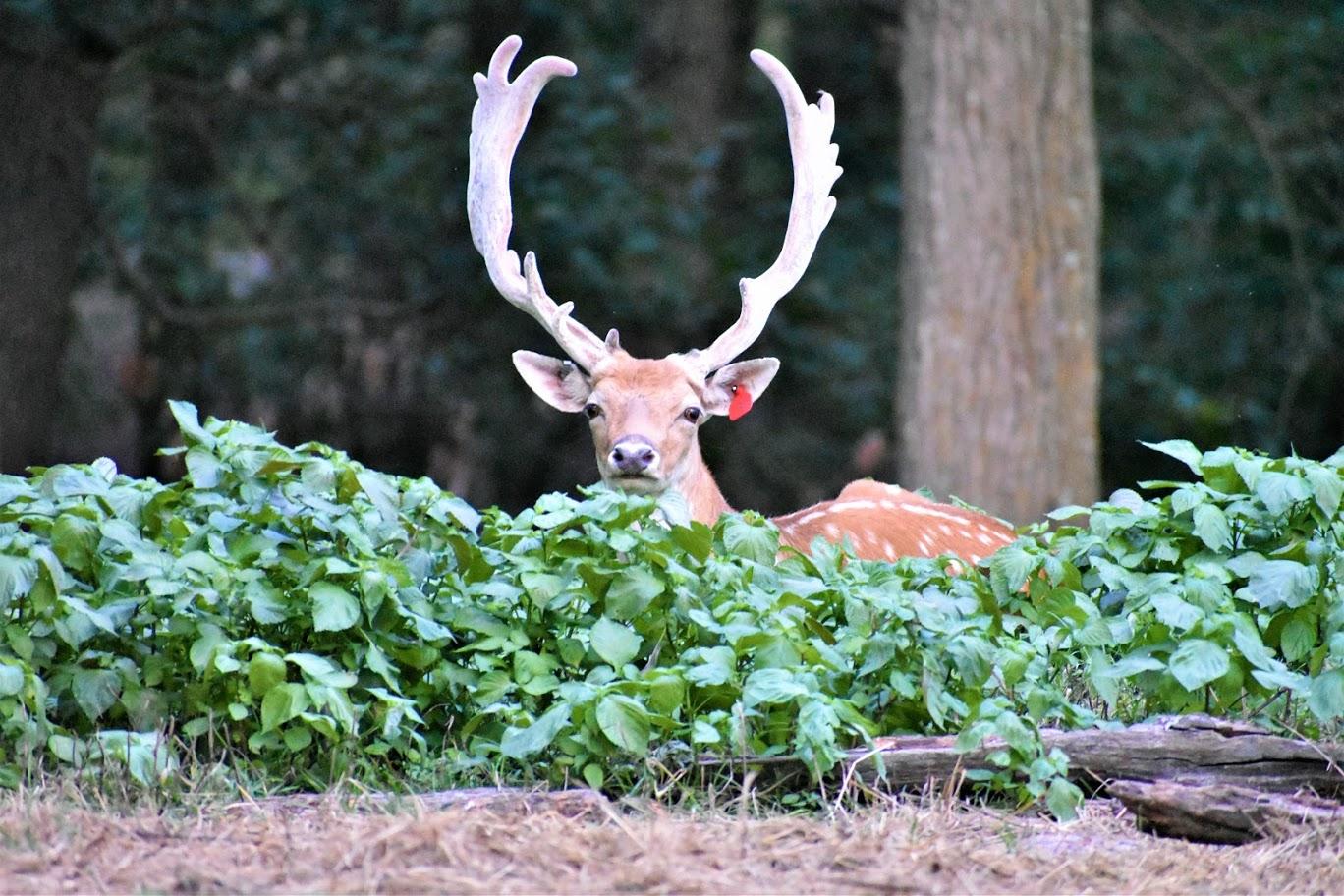 Deer with Great Antlers