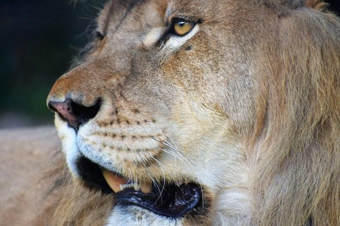 Herc, Lion Closeup