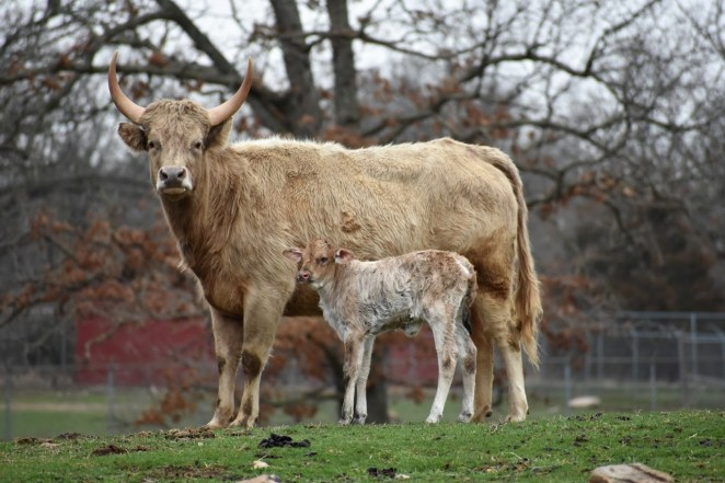Highlander Mix Cow and Baby
