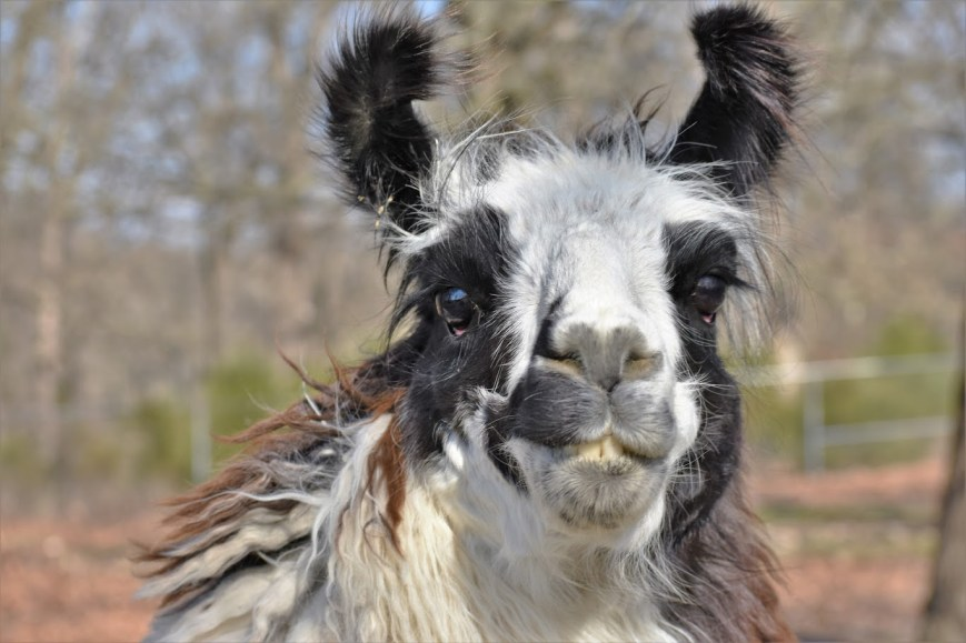 Llama, Flopsie