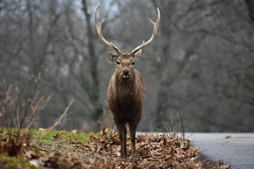 Sika Deer in Fall