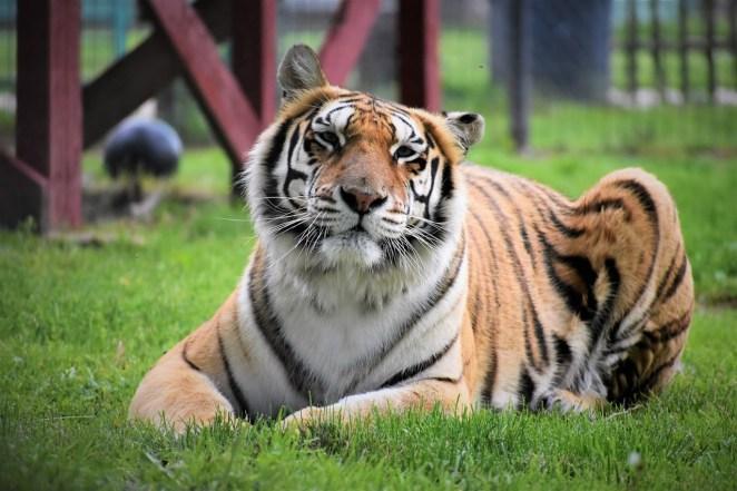 Relaxing Zahara, Tiger