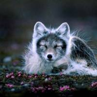 What Eats Arctic Foxes? - Arctic Fox Predators