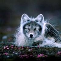 What Eats Arctic Foxes? - Arctic Fox Predators