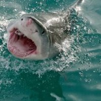 What do Great White Sharks Eat? - Great White Shark Diet & Eating Habits