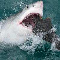 How Do Great White Sharks Hunt? - White Shark Hunting
