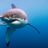 How much does a Great White Shark weigh?