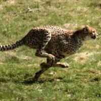 How Fast Can a Cheetah Run? - Cheetah Top Speed