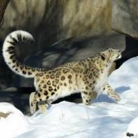 How Fast Can a Snow Leopard Run?