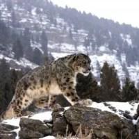 How High Can a Snow Leopard Jump?