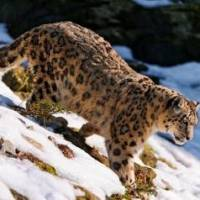 How Much Does a Snow Leopard Weigh?