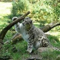 How Long Do Snow Leopards Live? - Snow Leopard Lifespan