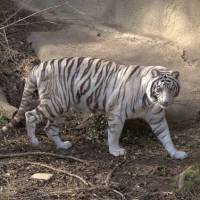 What Do White Tigers Eat? – White Tiger Diet & Eating Habits