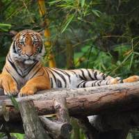 What Do Malayan Tigers Eat? - Malayan Tiger Diet & Eating Habits