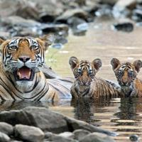 How Many Babies Do Bengal Tigers have?