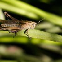 How Long Do Grasshoppers Live? - Grasshopper Lifespan