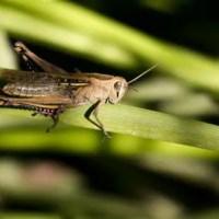 How Long Do Grasshoppers Live? - Grasshopper Lifespan