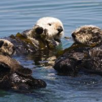 Why Are Sea Otters Endangered? - Sea Otter Endangered