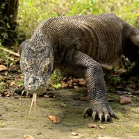 Where Do Komodo Dragons Live? - Komodo Dragon Habitat
