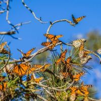 How Long Do Monarch Butterflies Live? - Monarch Butterfly Lifespan