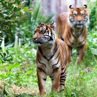 What Do Sumatran Tigers Eat? - Sumatran Tiger Diet & Eating Habits