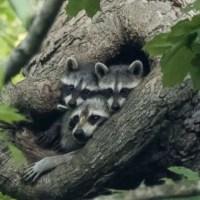 Where Do Raccoons Sleep? Where Do Raccoons Go During the Day?