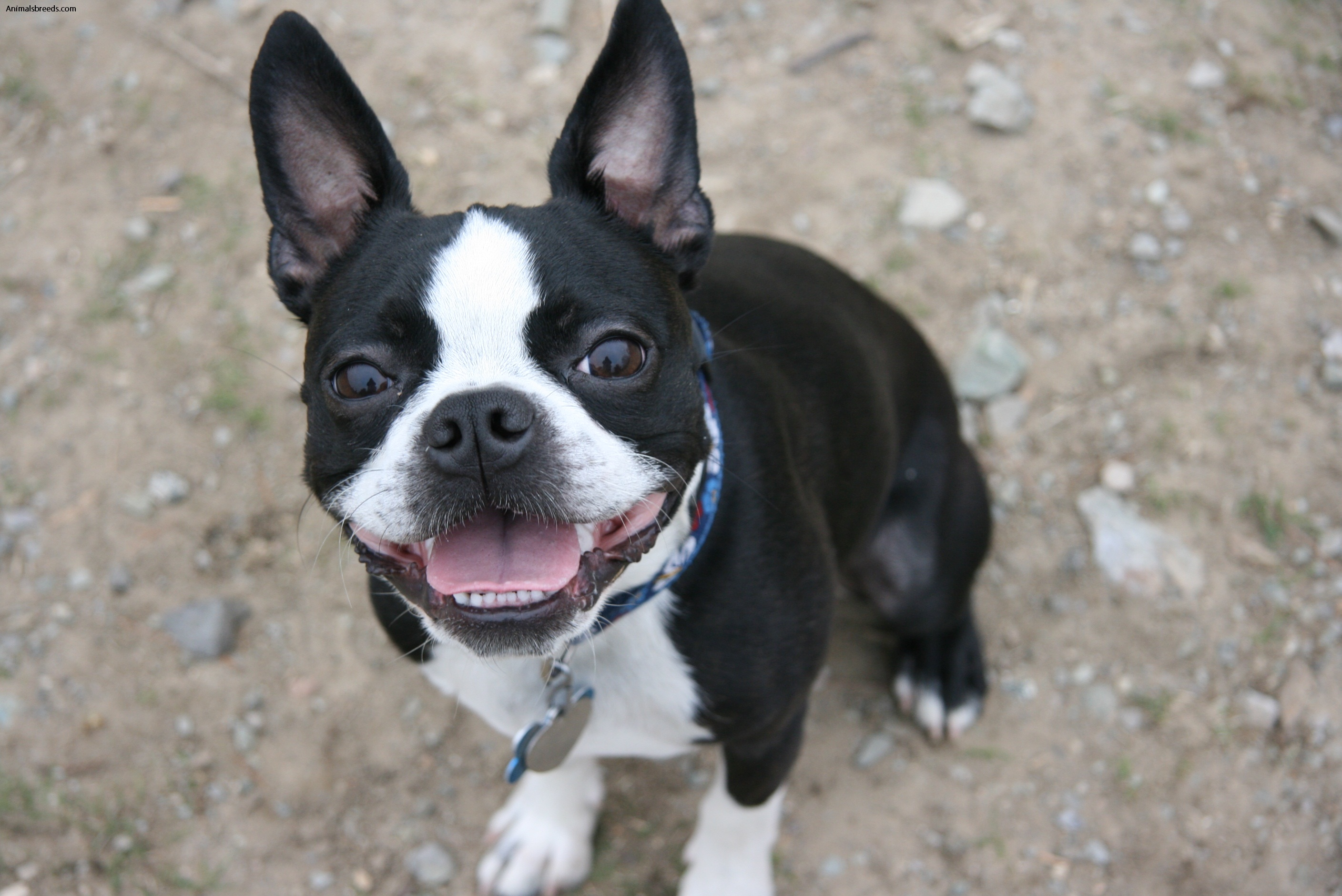 Image result for boston terrier characteristics