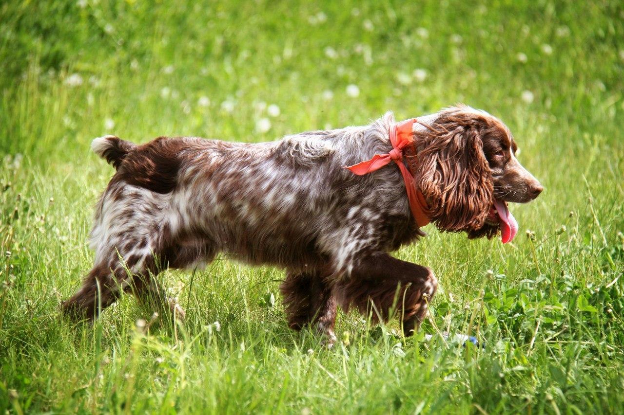 White Irish Wolfhound Puppies