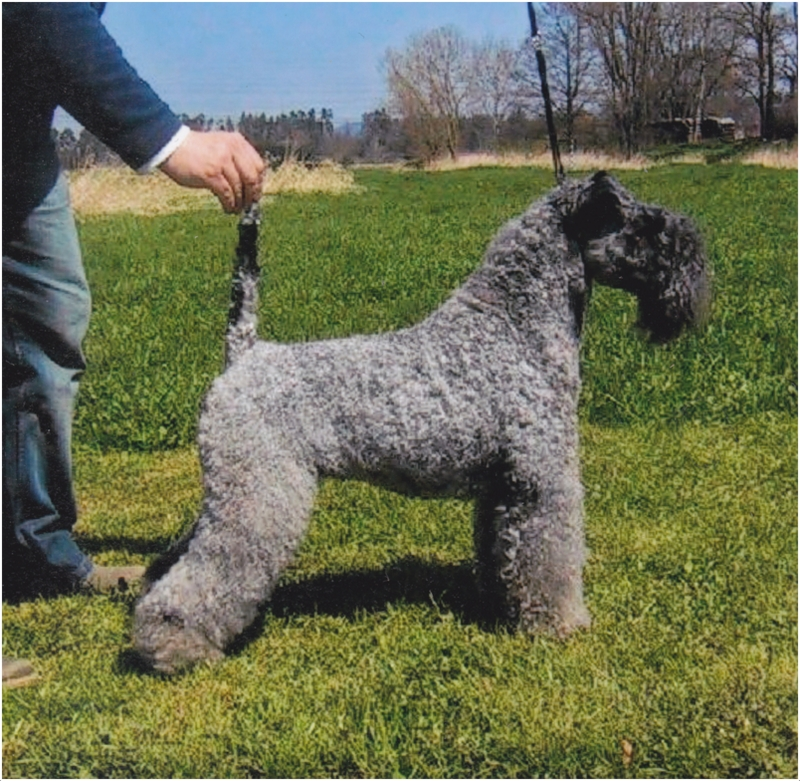 Image Result For Kerry Blue Terrier Hypoallergenic