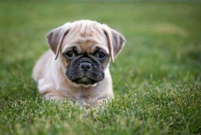 Chihuahua Pug Mix- the breed that you can't ignore