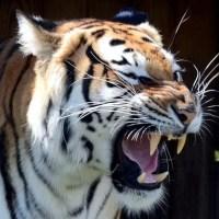 Bengal Tiger Facts For Kids - Bengal Tiger Habitat & Diet