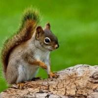 Red Squirrel Facts | Red Squirrel Habitat & Diet