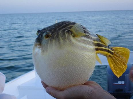 inflammation puffer fish