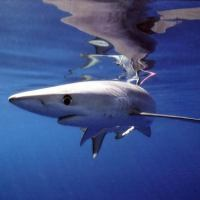 Blue Shark Facts | Top 15 Interesting Facts about Blue Sharks