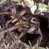 Wolf Spider Facts | Top 20 Facts about Wolf Spiders
