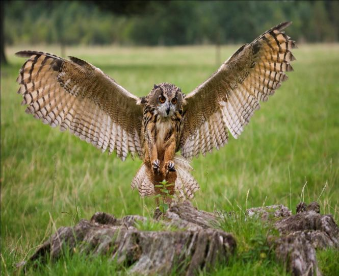 Tall Malay Eagle Owl