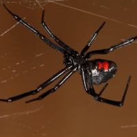 Black Widow Spider Facts For Kids | Deadly Spiders