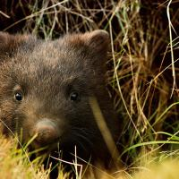 Wombat Facts For Kids | Expert Diggers