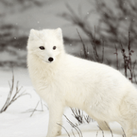 Arctic Fox Facts For Kids | Appearance, Diet, Habitat, Behavior