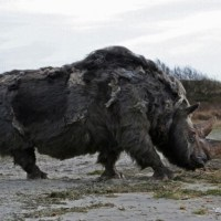 Woolly Rhino Facts | Anatomy, Diet, Habitat, Behavior