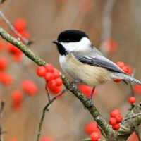 Black Capped Chickadee Facts | Anatomy, Diet, Habitat, Behavior
