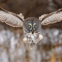 Great Grey Owl Facts | Anatomy, Diet, Habitat, Behavior